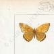 DETTAGLI 01 | Farfalle dall'Europa - Polyommate Thersamon