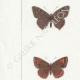 DETTAGLI 02 | Farfalle dall'Europa - Polyommate Thersamon