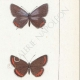DETTAGLI 05 | Farfalle dall'Europa - Polyommate Thersamon