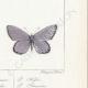 DETTAGLI 06 | Farfalle dall'Europa - Polyommate Thersamon