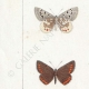 DETTAGLI 02 | Farfalle dall'Europa - Polyommate Eumedon