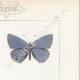 DETTAGLI 04 | Farfalle dall'Europa - Polyommate Eumedon