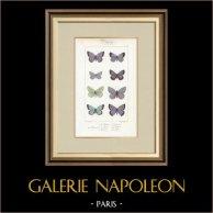 Motyle z Europy - Polyommate Meleager