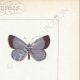 DETAILS 04 | Butterflies of Europe - Polyommate Meleager
