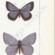 DETAILS 05 | Butterflies of Europe - Polyommate Meleager