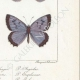 DETAILS 06 | Butterflies of Europe - Polyommate Meleager