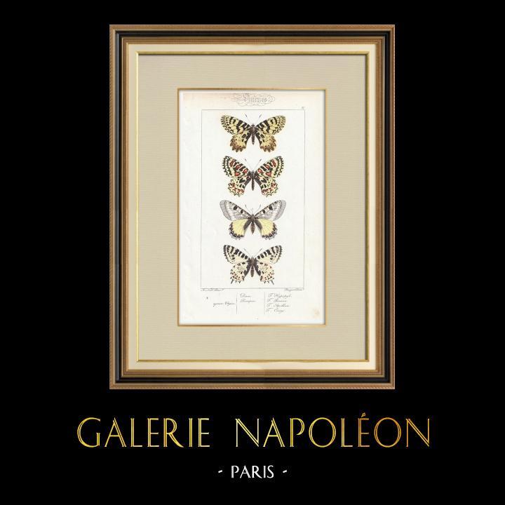 Antique Prints & Drawings | Butterflies of Europe - Thaïs Diane - Proserpine | Intaglio print | 1834