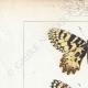 DETAILS 01 | Butterflies of Europe - Thaïs Diane - Proserpine
