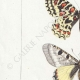 DETAILS 02 | Butterflies of Europe - Thaïs Diane - Proserpine