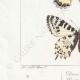DETAILS 03 | Butterflies of Europe - Thaïs Diane - Proserpine