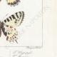 DETAILS 06 | Butterflies of Europe - Thaïs Diane - Proserpine