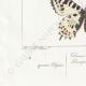 DETAILS 07 | Butterflies of Europe - Thaïs Diane - Proserpine