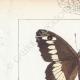 DETTAGLI 01   Farfalle dall'Europa - Satyre - Silène - Hermite - Sylvandre