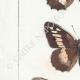 DETTAGLI 02   Farfalle dall'Europa - Satyre - Silène - Hermite - Sylvandre