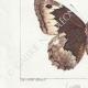 DETTAGLI 03   Farfalle dall'Europa - Satyre - Silène - Hermite - Sylvandre