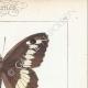 DETTAGLI 04   Farfalle dall'Europa - Satyre - Silène - Hermite - Sylvandre