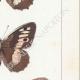 DETTAGLI 05   Farfalle dall'Europa - Satyre - Silène - Hermite - Sylvandre