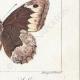 DETTAGLI 06   Farfalle dall'Europa - Satyre - Silène - Hermite - Sylvandre