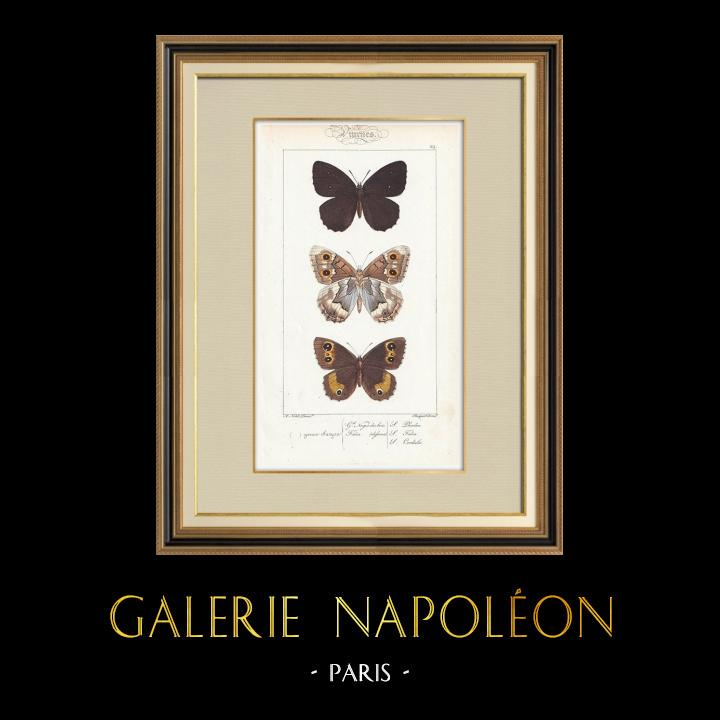 Antique Prints & Drawings | Butterflies of Europe - Satyre | Intaglio print | 1834