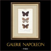 Papillons d'Europe - Satyre