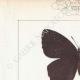 DETAILS 01 | Butterflies of Europe - Satyre