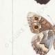 DETAILS 02 | Butterflies of Europe - Satyre