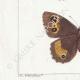 DETAILS 03 | Butterflies of Europe - Satyre