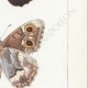 DETAILS 05 | Butterflies of Europe - Satyre