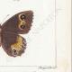 DETAILS 06 | Butterflies of Europe - Satyre