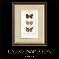 Papillons d'Europe - Satyre Actéon - Agreste   Gravure originale en taille-douce sur acier d'après A. Noël. Pauquet direxit. Aquarellée à la main. 1834