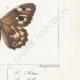 DETAILS 06 | Butterflies of Europe - Satyre Actéon - Agreste