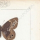DETTAGLI 04 | Farfalle dall'Europa - Satyre Bacchante