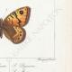 DETTAGLI 06 | Farfalle dall'Europa - Satyre Bacchante