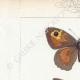 DETTAGLI 01 | Farfalle dall'Europa - Satyre Myrtil
