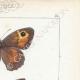 DETTAGLI 04 | Farfalle dall'Europa - Satyre Myrtil
