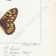 DETTAGLI 06 | Farfalle dall'Europa - Satyre Myrtil