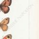 DETAILS 05 | Butterflies of Europe - Satyre Arthusa