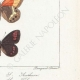 DETAILS 06 | Butterflies of Europe - Satyre Arthusa