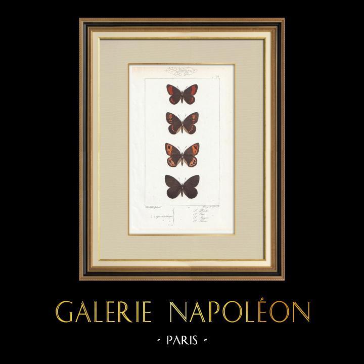Grabados & Dibujos Antiguos | Mariposas Europeas - Satyre Pharte | Grabado en talla dulce | 1834