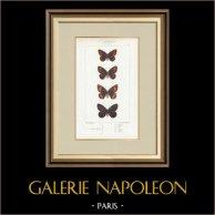 Butterflies of Europe - Satyre Pharte