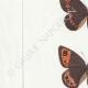 DETALLES 02 | Mariposas Europeas - Satyre Pharte