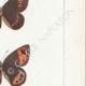DETTAGLI 05 | Farfalle dall'Europa - Satyre Pharte