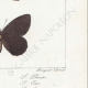 DETTAGLI 06 | Farfalle dall'Europa - Satyre Pharte