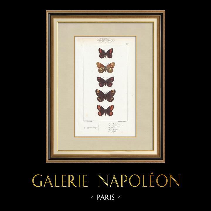 Gravures Anciennes & Dessins | Papillons d'Europe - Satyre Melampus | Taille-douce | 1834