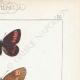 DÉTAILS 04 | Papillons d'Europe - Satyre Melampus