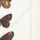 DÉTAILS 05 | Papillons d'Europe - Satyre Melampus