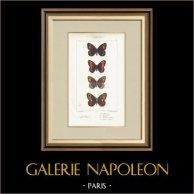 Mariposas Europeas - Satyre Blandina
