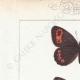 DETTAGLI 01 | Farfalle dall'Europa - Satyre Blandina