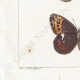 DETTAGLI 03 | Farfalle dall'Europa - Satyre Blandina