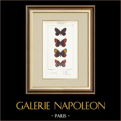 Papillons d'Europe - Satyre Arachne | Gravure originale en taille-douce sur acier d'après A. Noël. Pauquet direxit. Aquarellée à la main. 1834